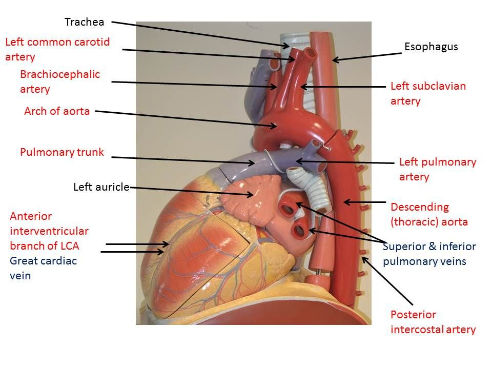 Thoracic Aorta Human Heart Google Search Cardiovascularblood