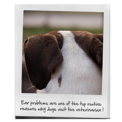 dog ear problems - 500×500