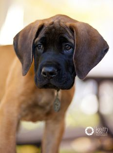 Dreamfields Mastiff Puppies In Vt Due In A Week And A Half