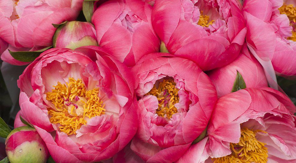 La Pivoine Ou L Incomparable Beaute Pivoine Fleur Pivoine Et