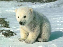 Oso polar blanco 3 - Imágenes, fondos de pantallas y fotos