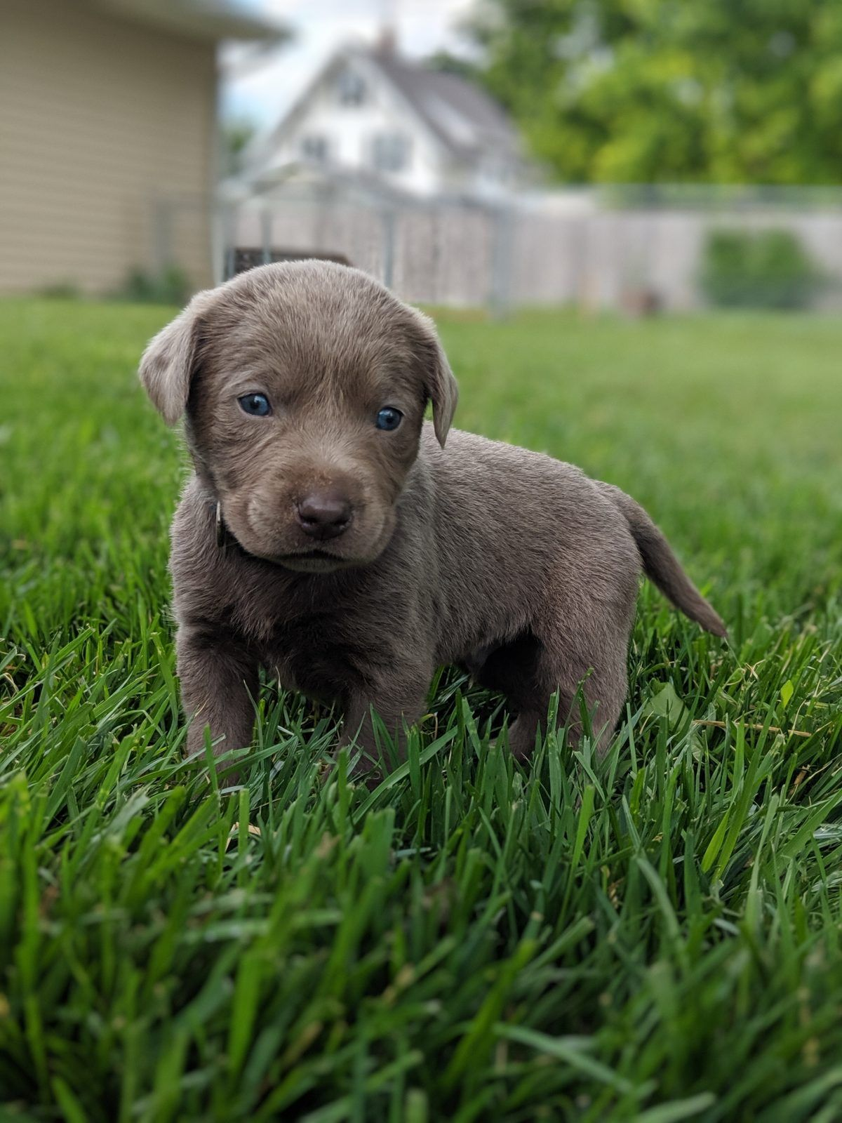 Black Collar Female Akc Poodle Puppy For Sale At Fargo North Dakota Vip Puppies Labrador Retriever Puppies Labrador Retriever Puppies