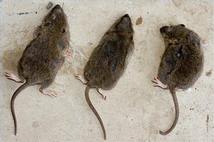Home Remedies For Getting Rid Of Rats Getting Rid Of Rats Getting Rid Of Mice Mice Repellent