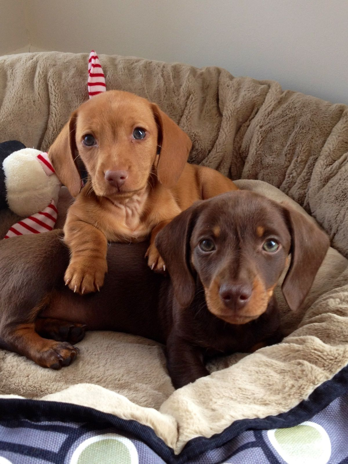 red and chocolate/tan doxies Dachshund puppy miniature