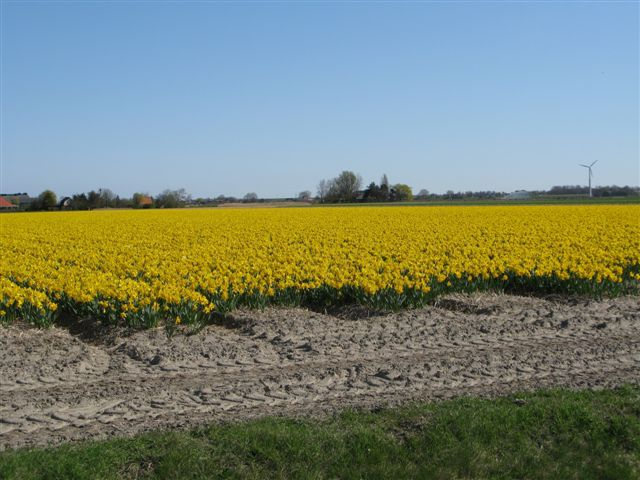 Did the daffodill walk (together with Kristen) in Anna Paulowna, was really beautifull