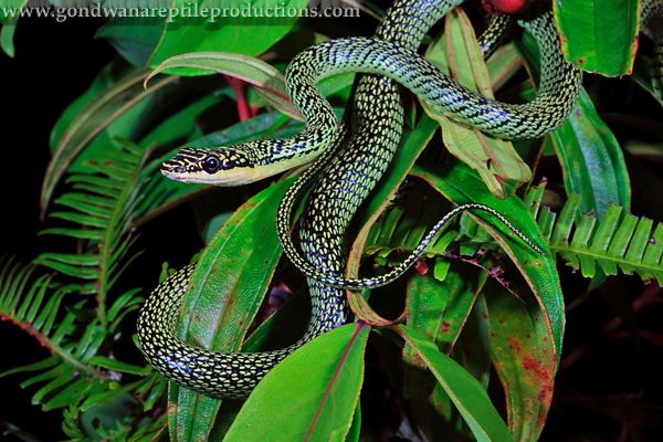 Golden Tree Snake Or Flying Snake Chrysopelea Ornata India