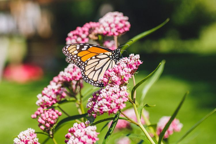 ButterflyFriendly Common Milkweed Plants is part of Milkweed plant, Milkweed garden, Milkweed plant monarch butterfly, Milkweed, Weed plants, Plants - The common milkweed plant (Asclepias syriaca) is a rough, weedy plant, but it has fragrant flowers and attracts butterflies, especially the monarch