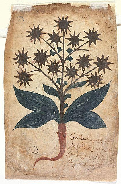 Turkish Plant Illustration @Francesco Paladino Bernardi