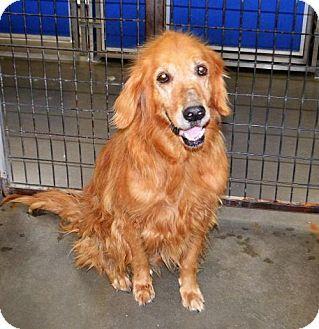 San Jacinto Ca Golden Retriever Meet Bronco A Dog For