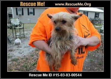 : 15-03-03-00544Sweat Pea (female)  Yorkie    Age: Adult  Compatibility:	 Good w/ Most Dogs, Good w/ Most Cats, Good w/ Adults (Not Kids)  Personality:	 Low Energy, Very Submissive  Health:	 Spayed, Vaccinations Current       Sweet Pea is an 8-9 year old feamle yorkie that came from the same breeder as Moochie. She is missing many teeth as well but still has no issues eating dry food. She is very affectionate and snuggly. She needs a home that will be very gentle and kind and treat her as…