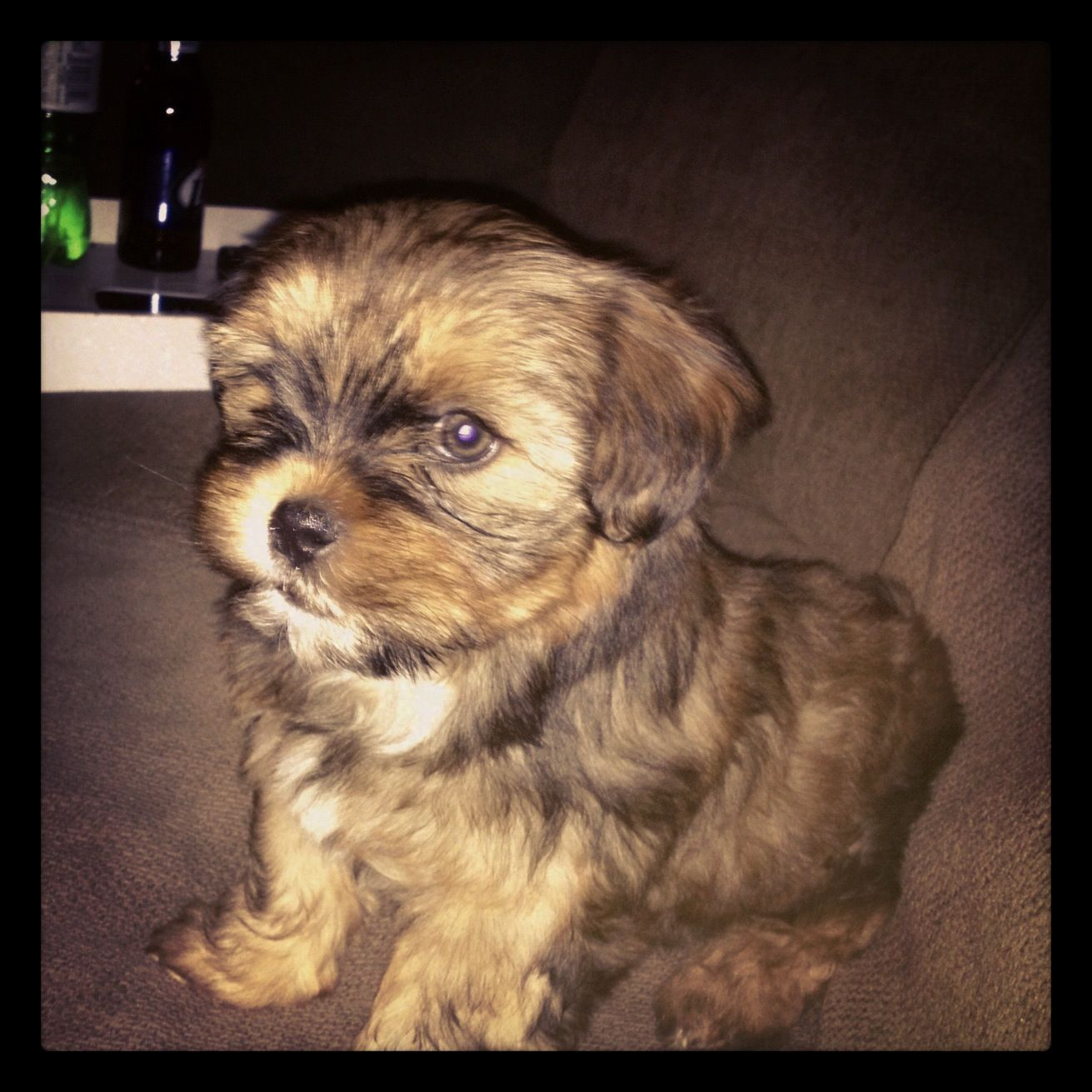 Shorkie Puppy Cutest Eva Puppiescutest Shorkie Puppies