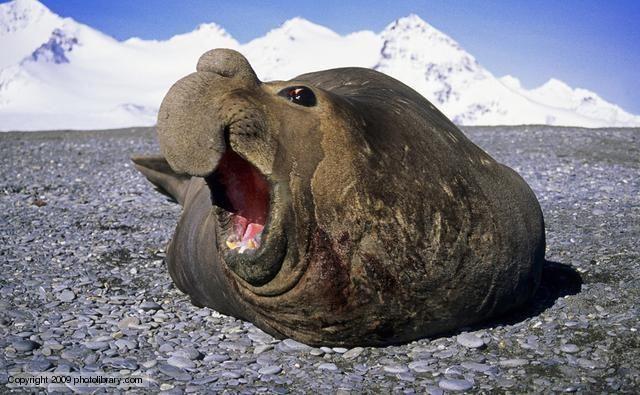 The Arctic Blog Photo Elephant Seal Funny Elephant Animals