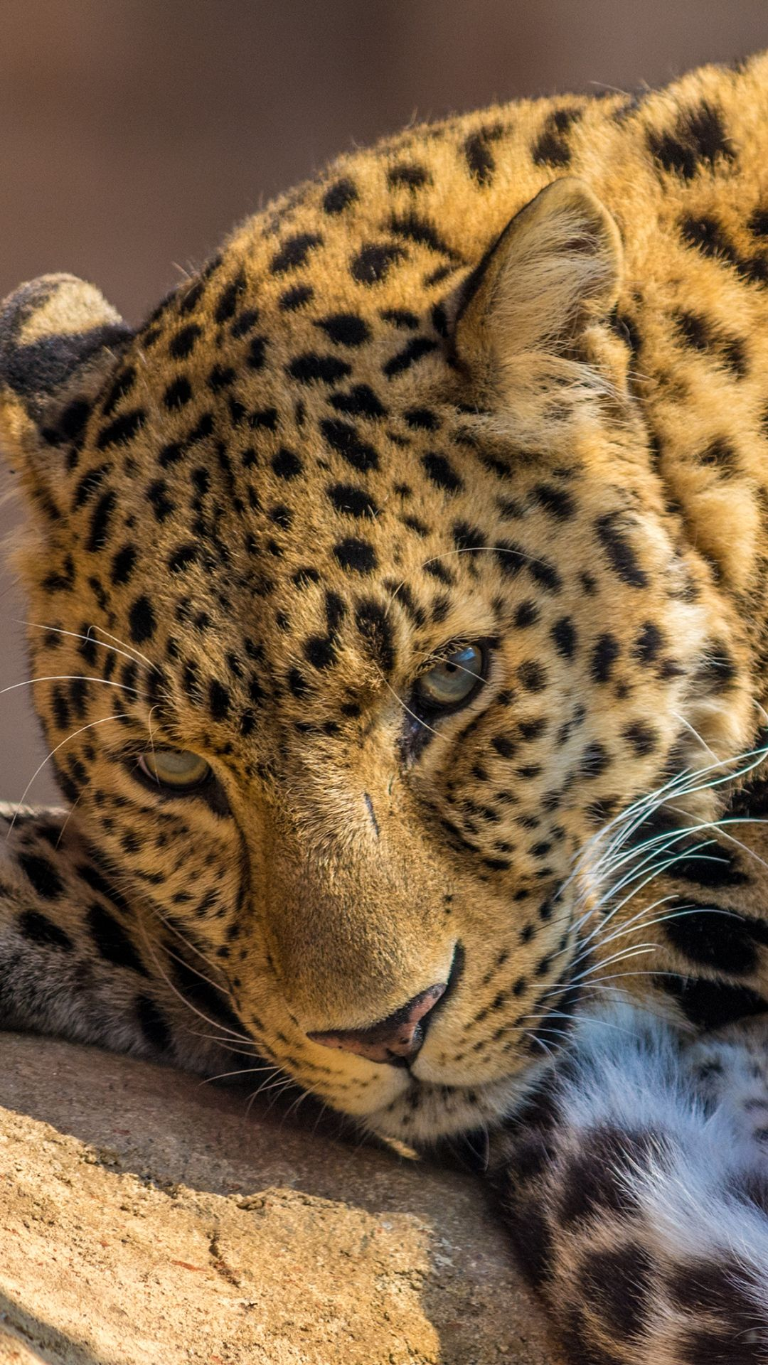 1080x1920 Wallpaper Leopard Predator Lying Look Animals Animal Photography Dogs Leopard Pictures