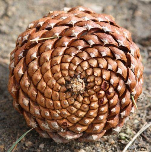 Image result for pine cone fibonacci spiral