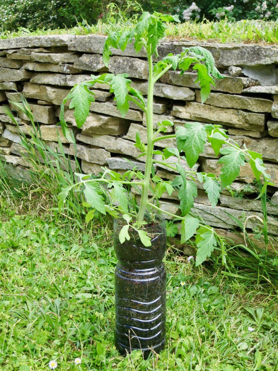 Mon Palmares Des Tomates 2018 Planter Tomates Tomates Jardinage