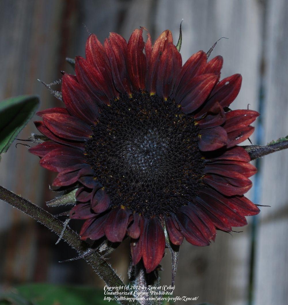 Photo Of Sunflower Helianthus Annuus Chianti Uploaded By Zencat Sunflower Plants Chianti