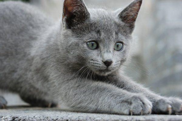 Russian Blue Kitten Stretching Russian Blue Kitten Russian Blue Russian Blue Cat