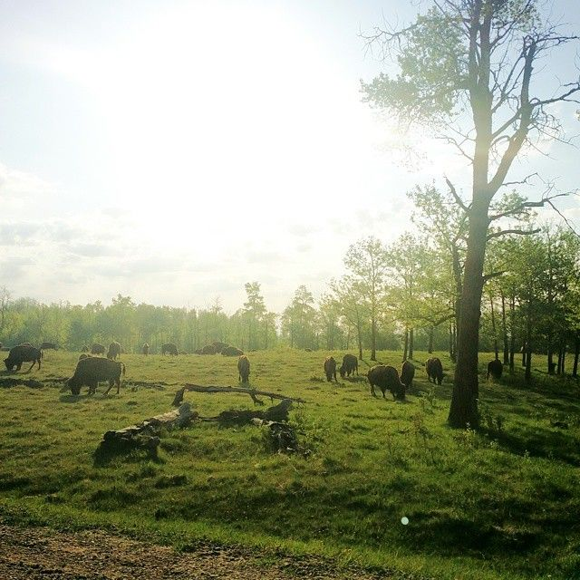 Morning graze with the woodland animals. #yeg #elkislandnationalpark #buffalo #bison. #sunrise #park #lukesadventures