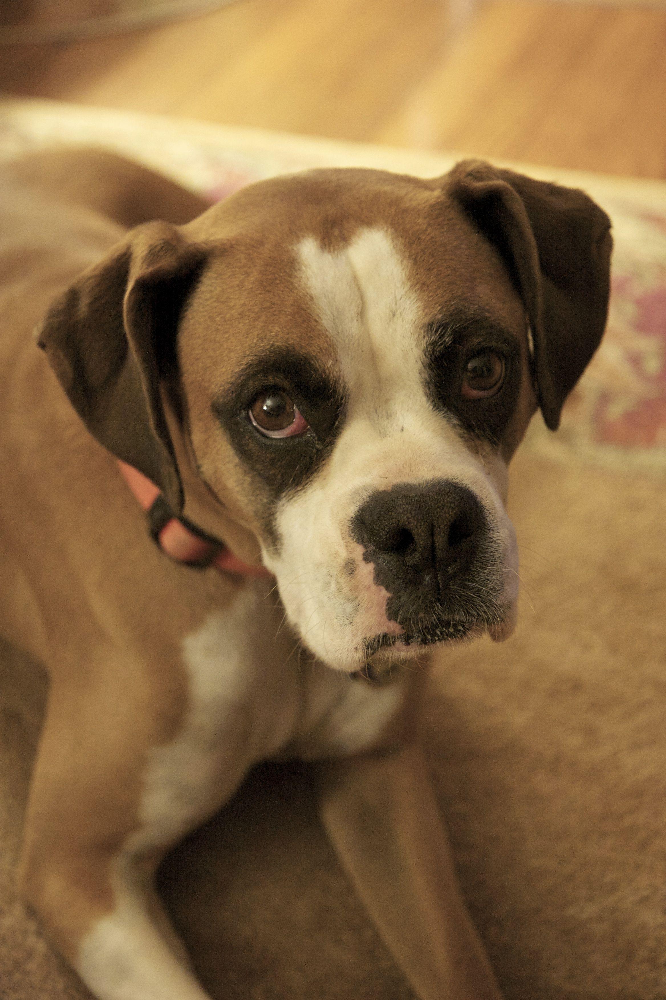 Craigslist Atlanta Boxer Puppies References