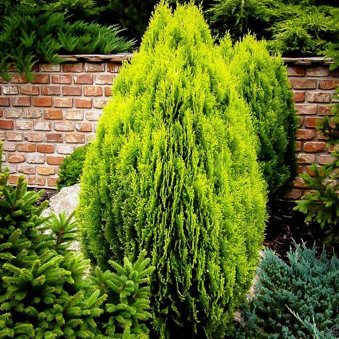 Thuja orientalis, the Oriental Arborvitae | Garden | Pinterest ...