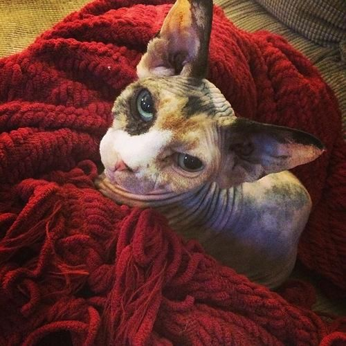 Hairless cats are lovely too. No really! http://ift.tt/2ravfhg
