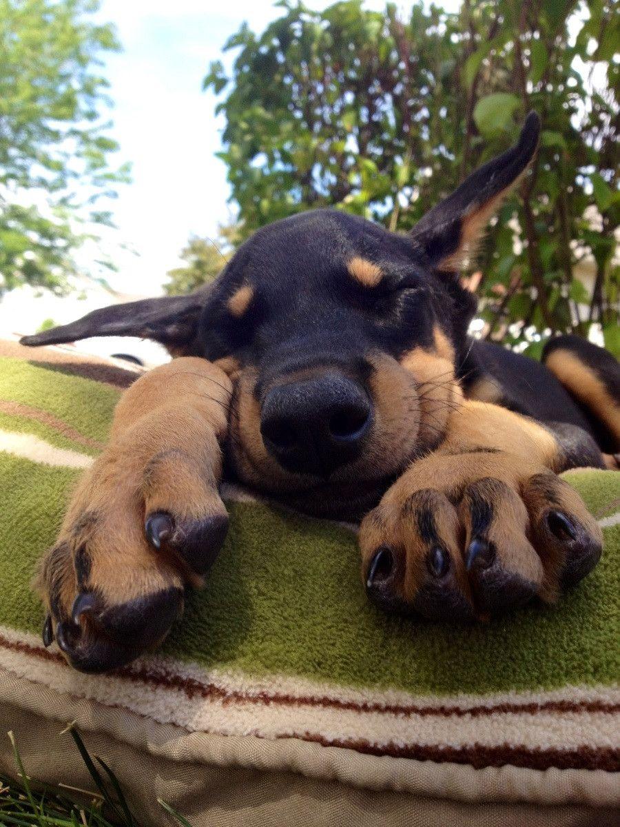This Is Abe Our New Puppy Doberman Pinscher Dog Doberman