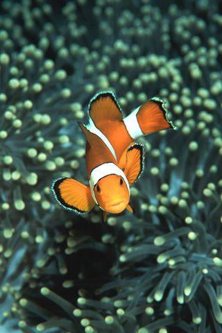 False Clown Anemonefish In Sea Anemone Similan Islands Andaman Sea ...