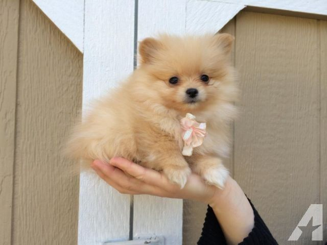 Small Cute Like Teacup White Baige Pomeranian Puppy 9 Weeks Old Pomeranian Puppy For Sale Pomeranian Puppy Puppies