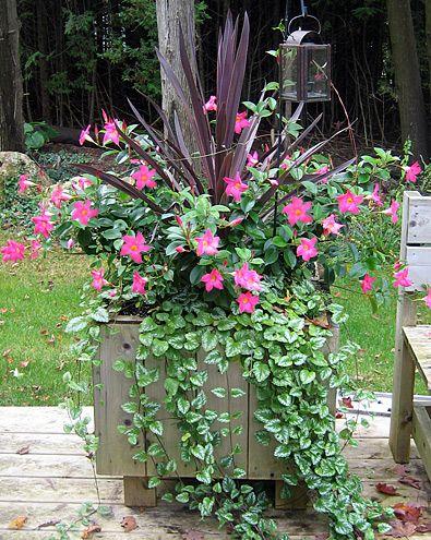 dipladenia in a pot flowers pinterest jardins jardinage et pot plante. Black Bedroom Furniture Sets. Home Design Ideas