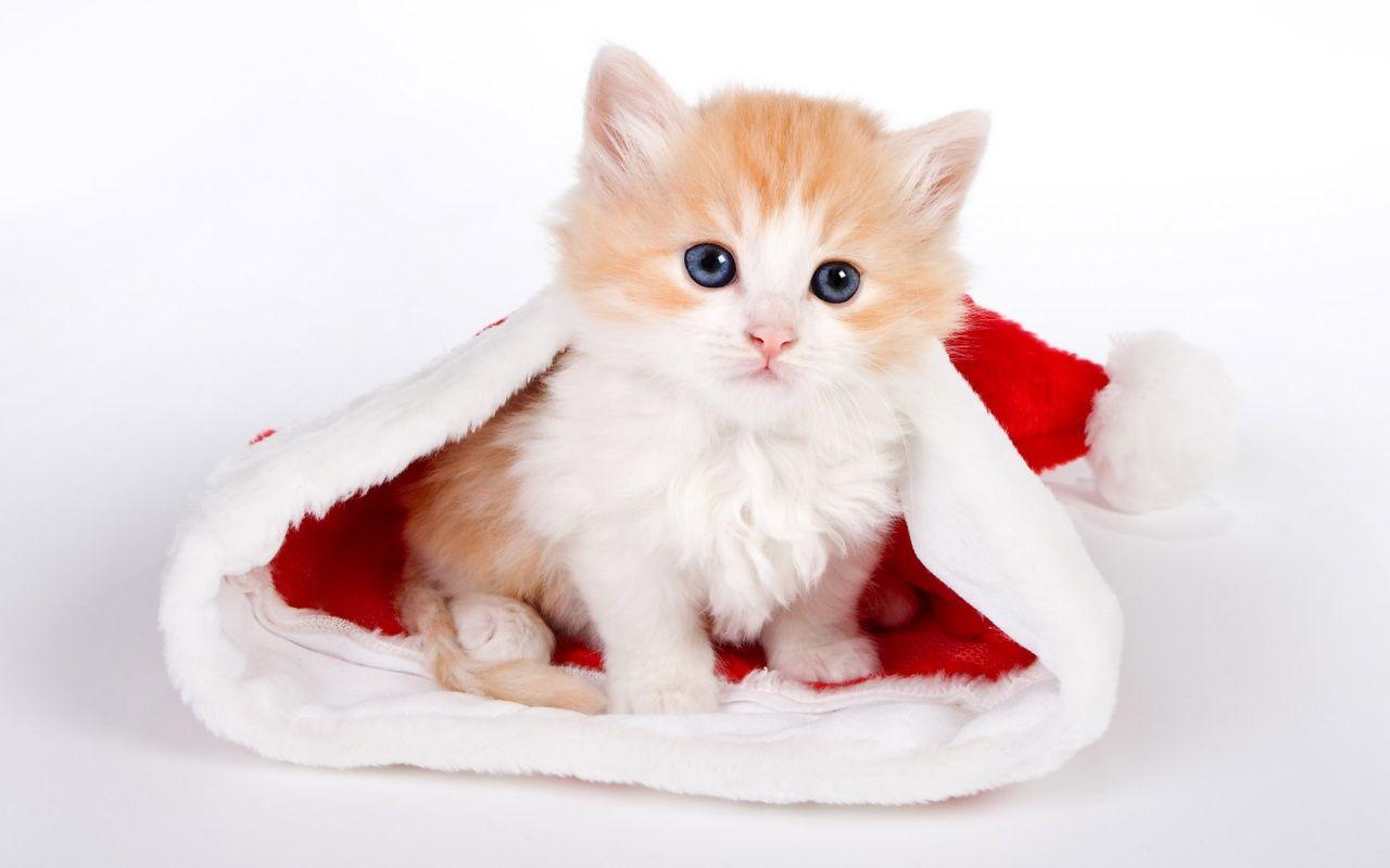 cute cats wallpaper hd 31 high resolution wallpaper  | christmas