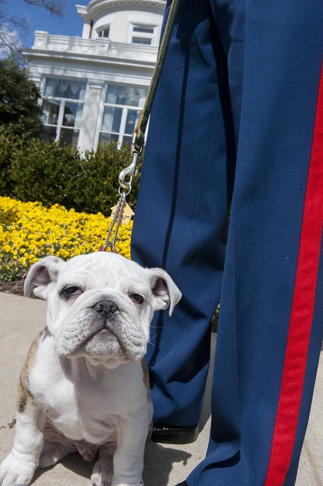 The Marine Corps' official mascot is Chesty, an English