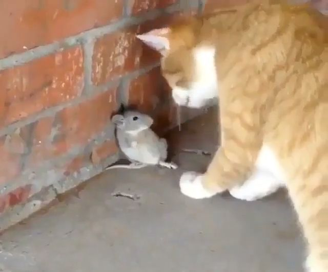 Funny & Dramatic Mouse Vs Cat 😂 & Mouse wins 😆 - #Cat #Dramatic #funny #Mouse #wins