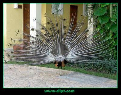 Fotografias aves: Imagenes de aves: pavo real tonos negros  [03-08-1...
