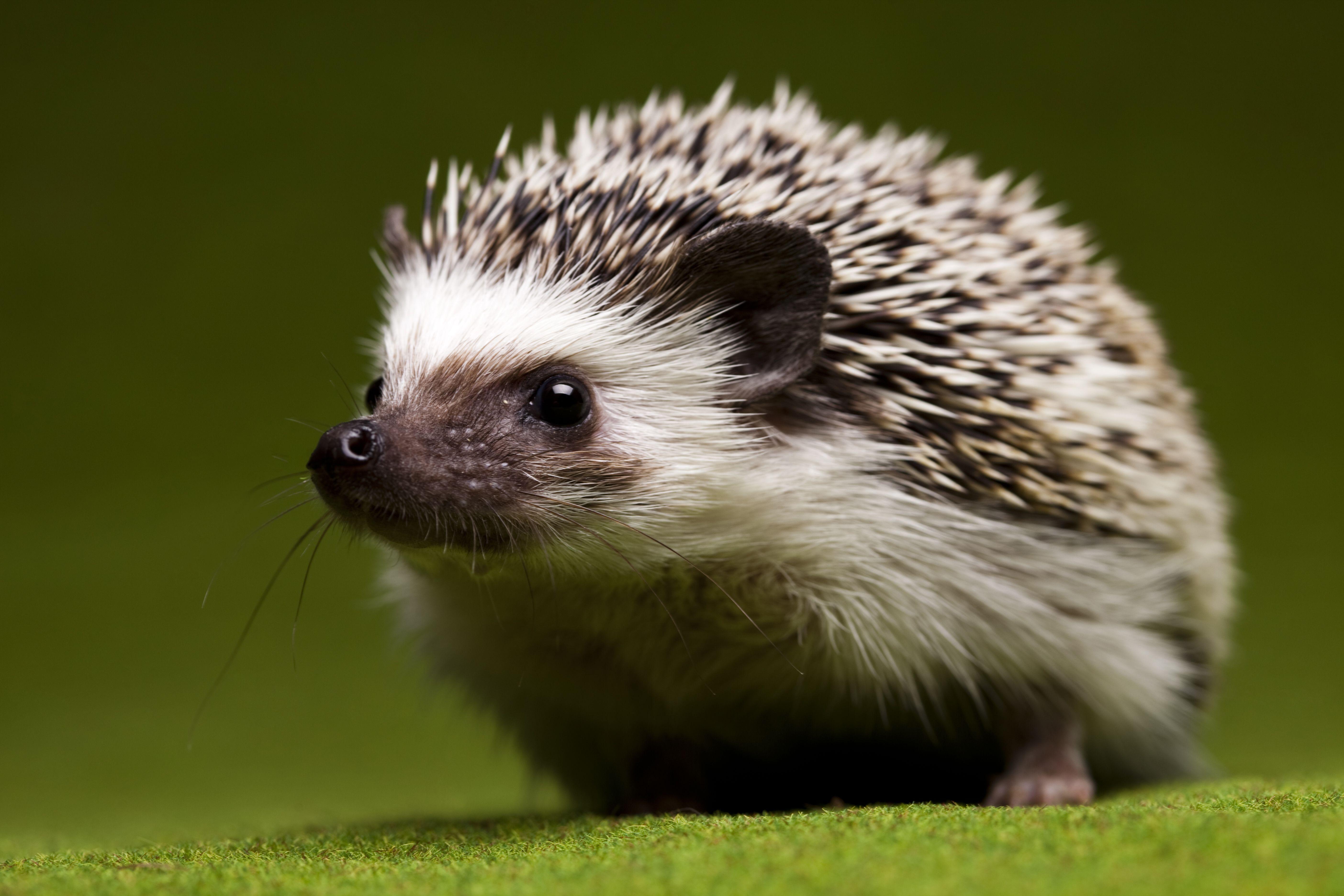 Little Cute Animal Hedgehog Animal Cool Pets Cute Animals