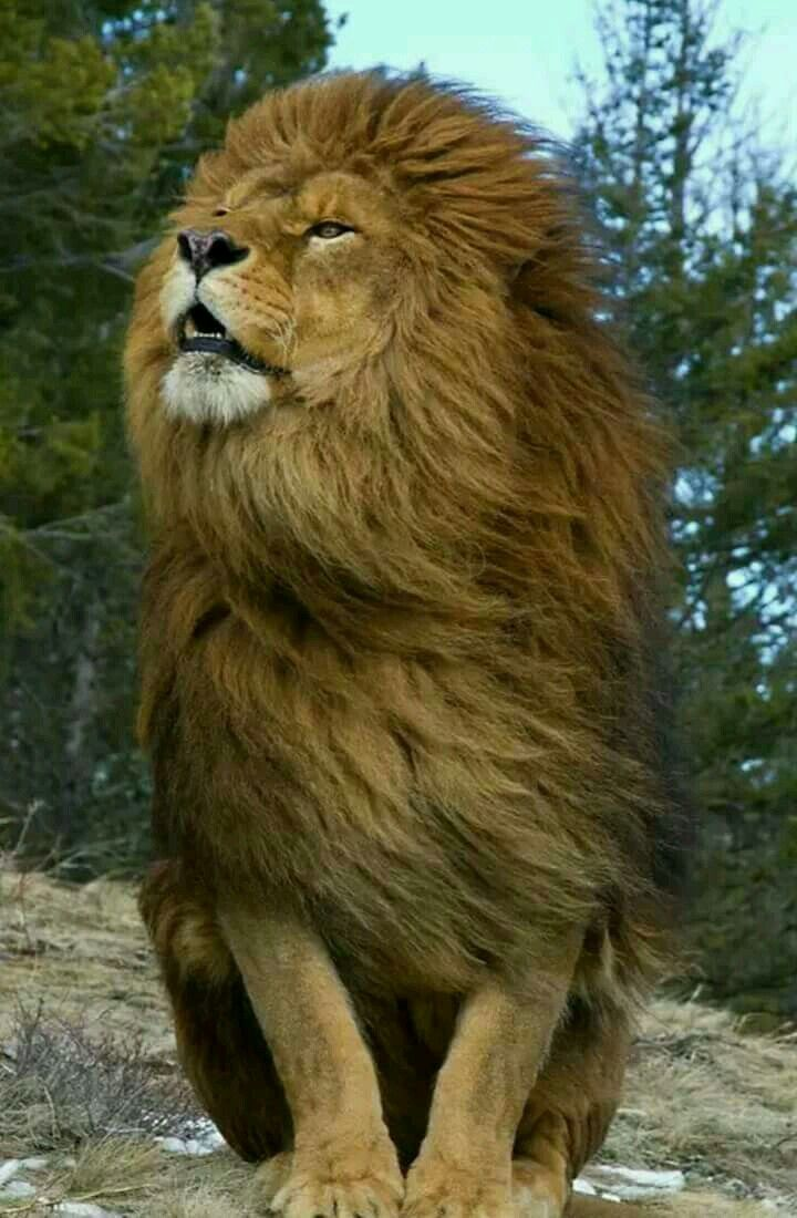 Pin by bleh on Cool!! Animals beautiful, Lion wallpaper