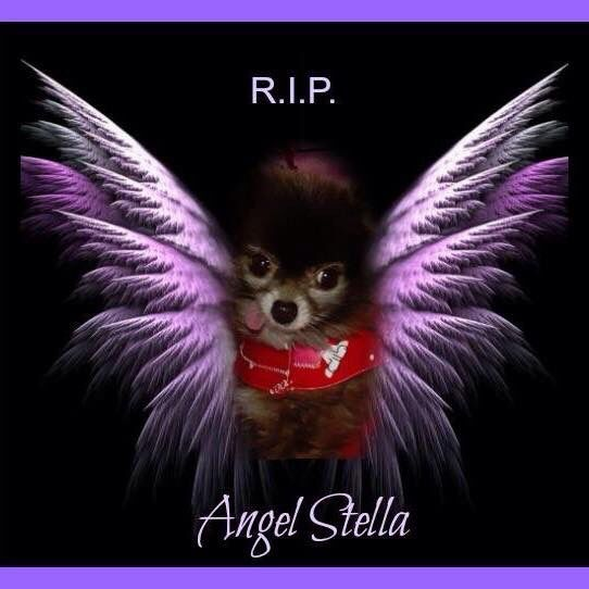Stella Puppy Mill Survivor Rip Beautiful And Sweet Angel Stella