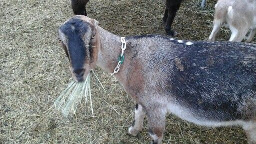 Emma (lamancha goat)
