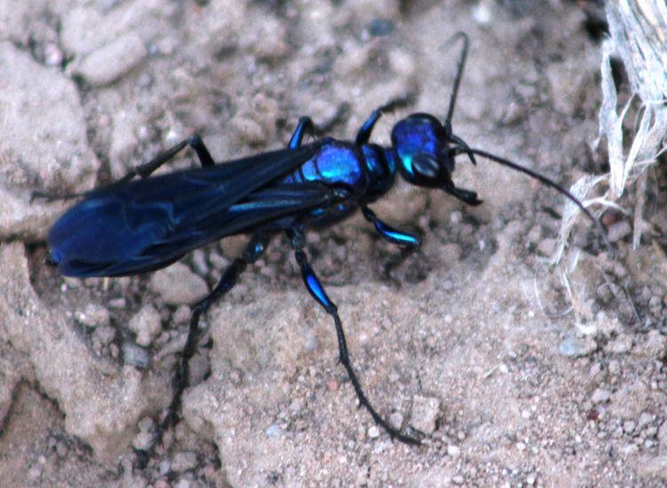 Steel Blue Cricket Hunter Insect Species Hunter Steel Blue