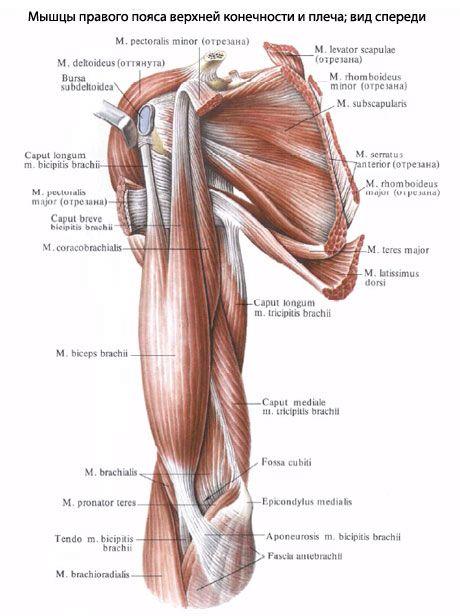 Мышцы плеча | Med student | Pinterest | Anatomía, Cuerpo humano y ...