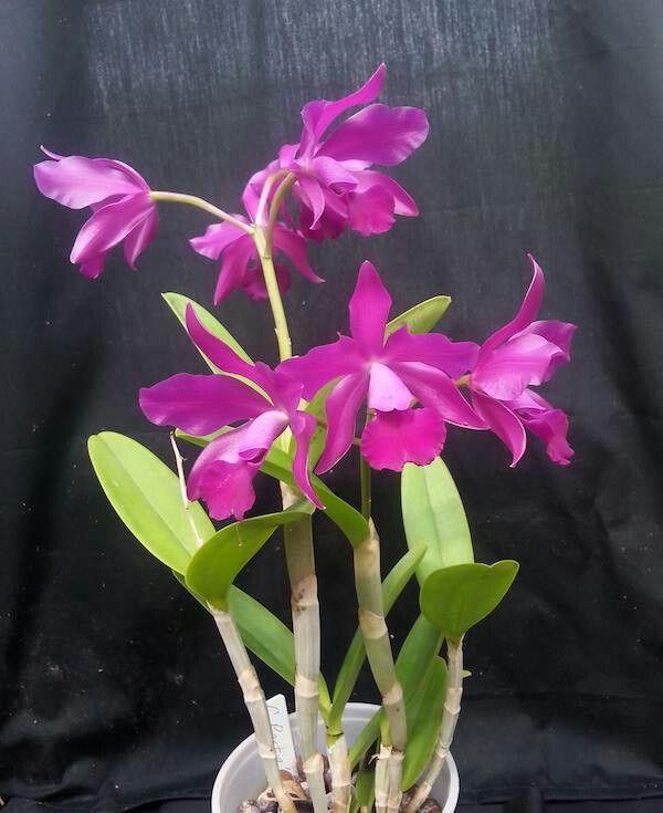 Orchid Cattleya Bactia 'Grape-Wax'