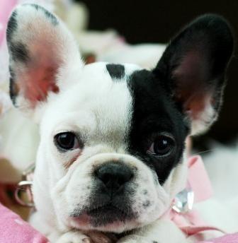 French Bulldog Princess.