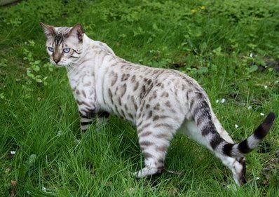 My dream cat!! A Silver Bengal cat marked like a Snow