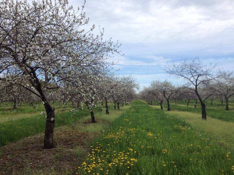Door County Cherry Blossoms Door County Cherries Door County Wisconsin Door County