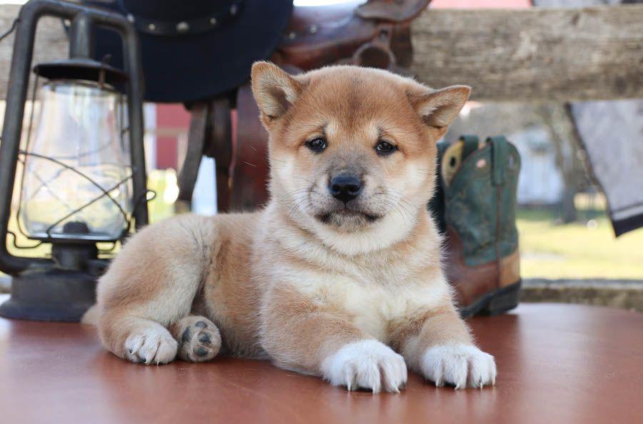 Shiba Inu Puppies For Sale In 2020 Shiba Inu Puppy Puppies Shiba Inu