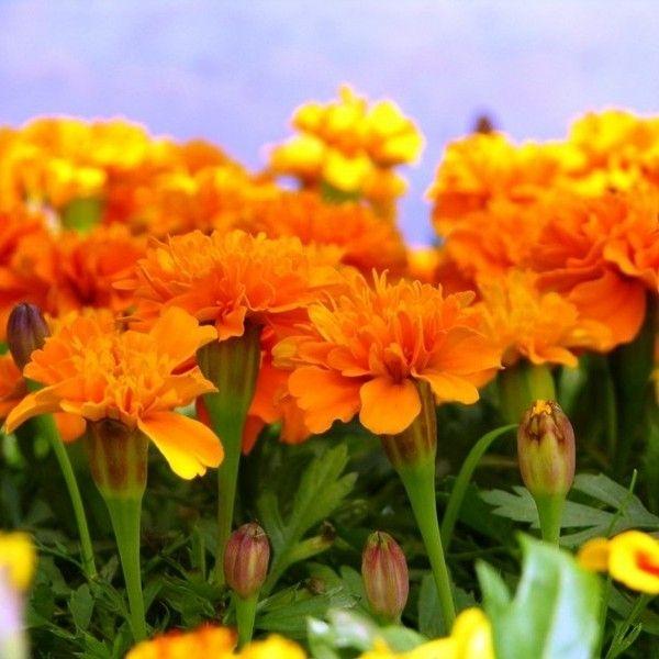 Aksamitka Uprawa Pielegnacja Wymagania Plants Flowers Fairy Art