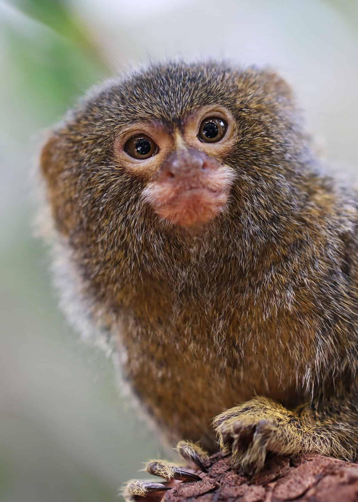 mini monkey pet uk