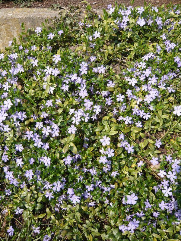Vinca minor \/ Kleinblättriges Immergrün u2013 ein Klassiker in - gartenpflanzen winterhart immergrun