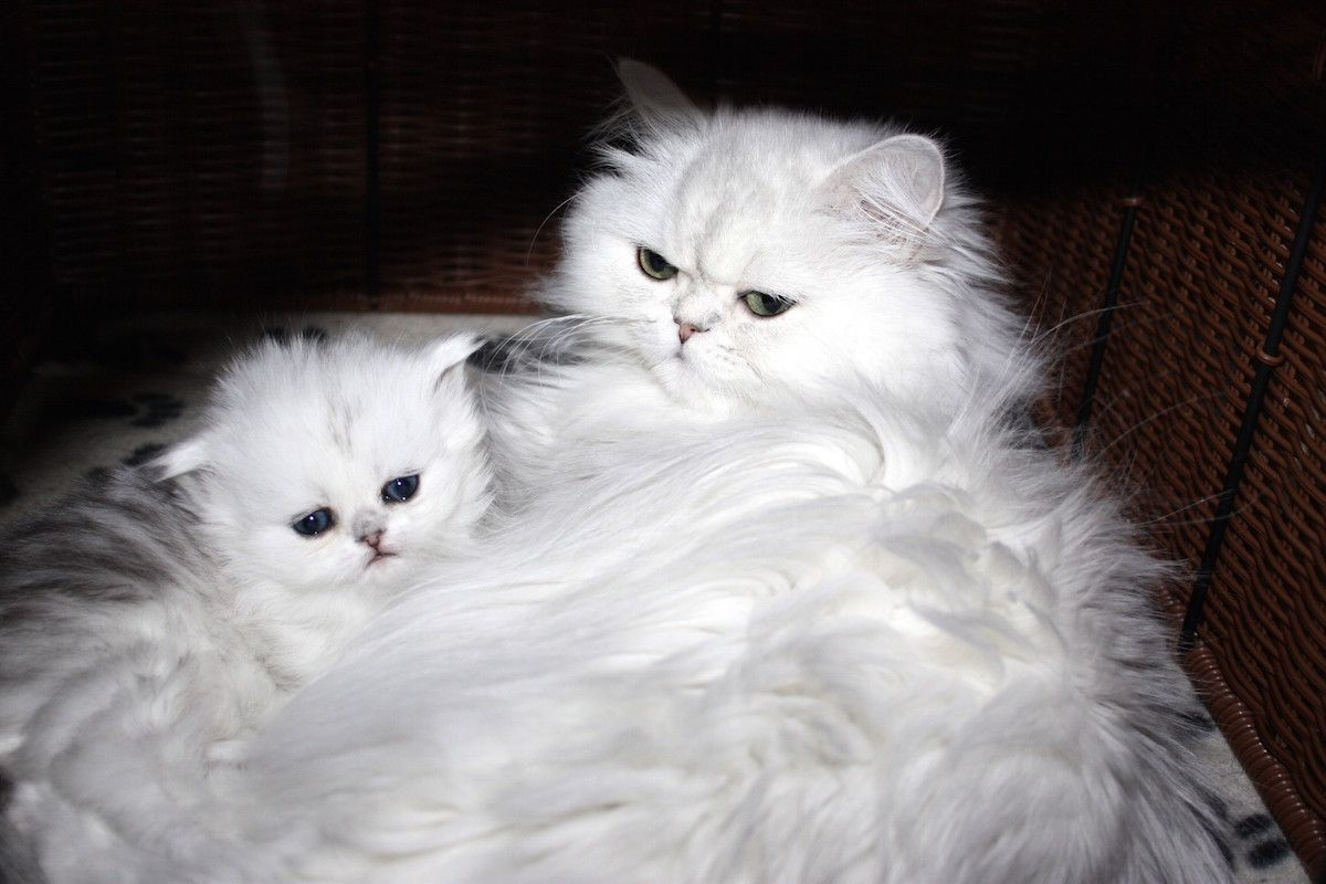 Catscreation Kittens For Sale New Litter Chinchilla Silver Doll Faced Persian Kittens To Reserve Call 40 Persian Kittens Persian Cat Teacup Kittens For Sale