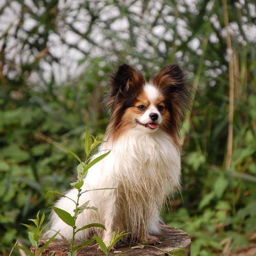 Papillon With Images Papillon Dog Smartest Dog Breeds