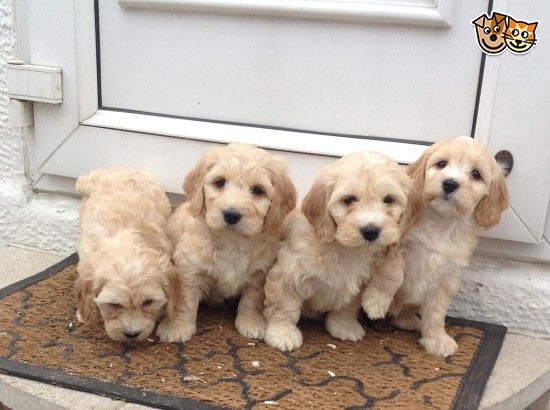 Beautiful Apricot Cockapoo Pups Pra Clear Yorkshire Terrier